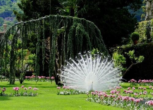 Pure White Peacock, Busch Botanical Gardens, St. Louis, Missouri