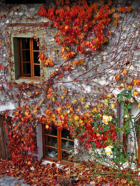 Autumn Ivy, Savoie, France