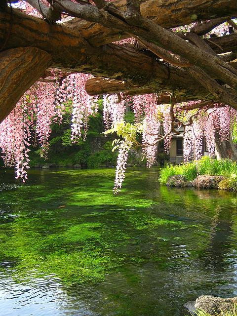 Wisteria Bridge, Japan