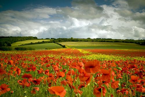 Poppy Field, North Yorkshire, England