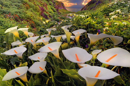 Coastal Lilies, Big Sur, California
