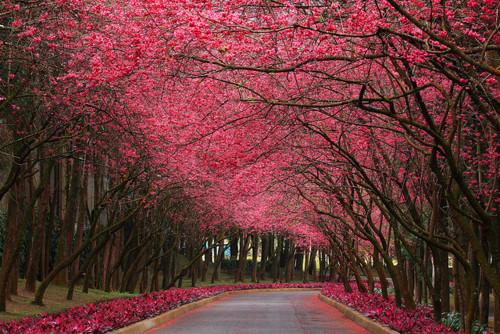 Cherry Blossom Lane, Taiwan