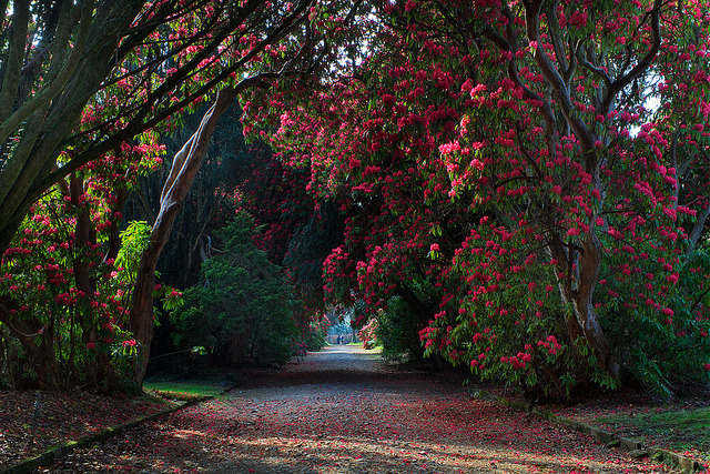 Rhododendron trail at Kilmacurragh Arboretum, Co. Wicklow, Ireland