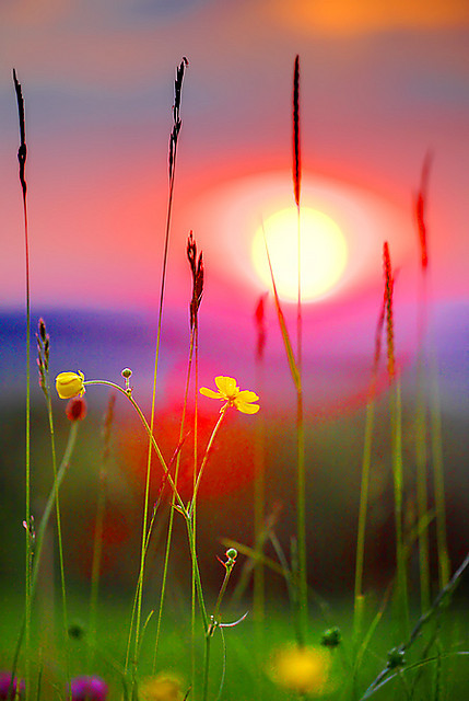 Buttercup Sunset, Gloucester, England