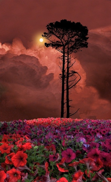 Flowered Sunset, Skagit, Washington