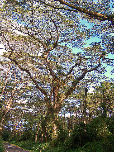 Albesia trees near Lava Tree State Monument on the Big Island of Hawaii, USA