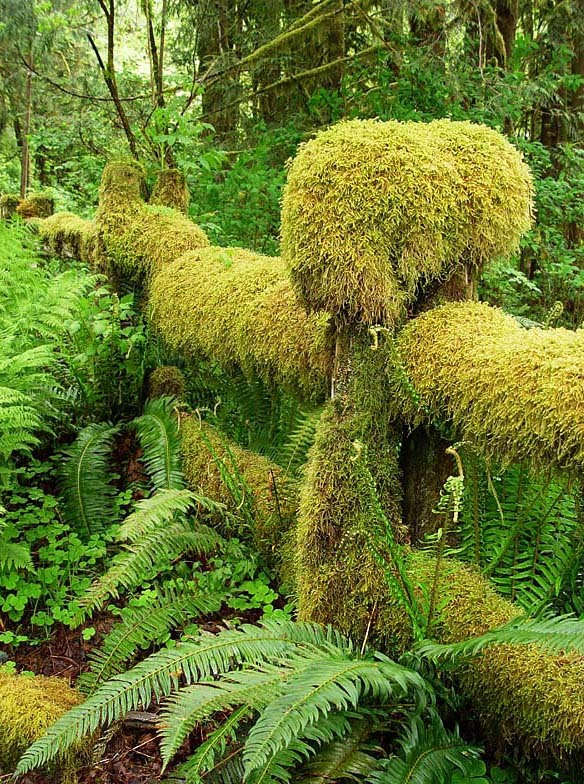 The mossy fence, Olympic National Park, USA