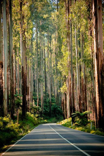 Black Spur Drive in Victoria / Australia